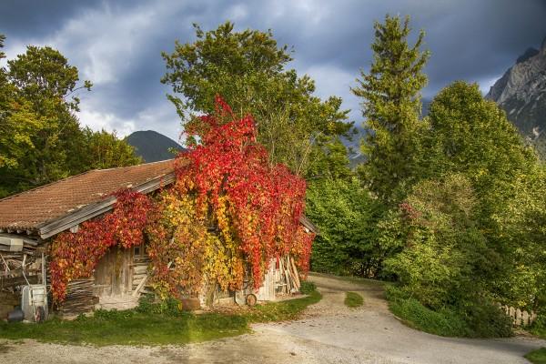 Wilder Wein am Holzhütte im Karwendeltal