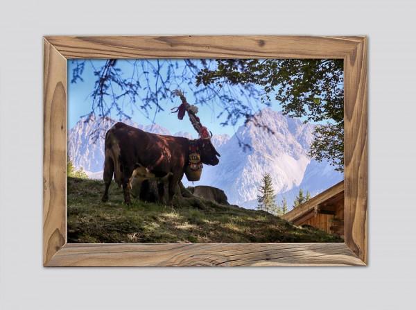 Aufgeputzte Kuh auf der Alm im Altholzrahmen