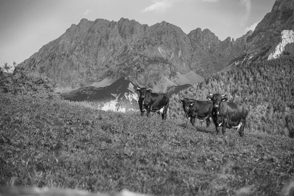 Kühe vor Wörnergebirge