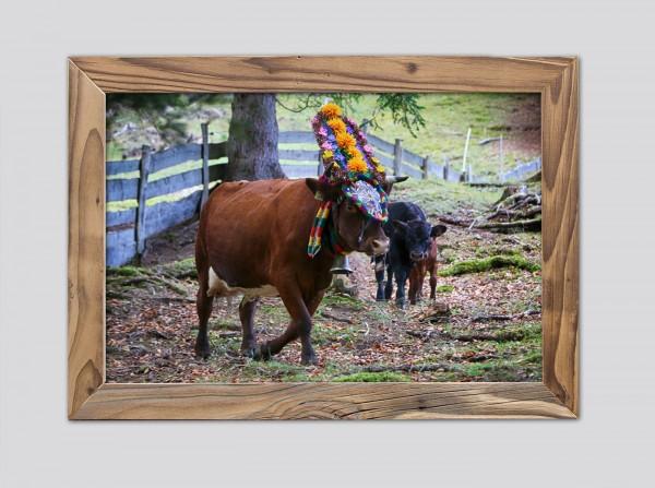 Geschmückte Kuh auf der Almwiese im Altholzrahmen